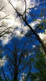 Treetops 1c