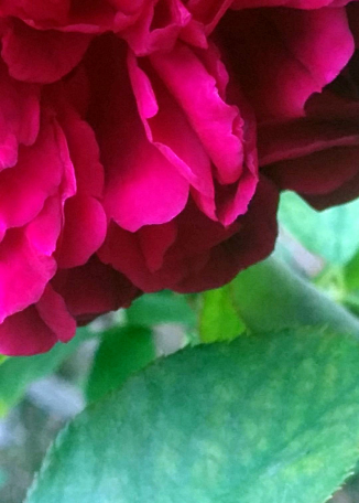 Rose Abstract 1