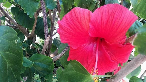 Red Hibiscus 3