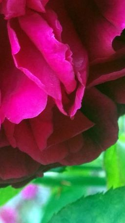 Rose Abstract 2