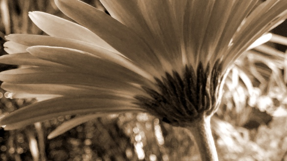 Daisy, Impression 3 (Sepia)