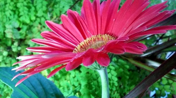 Daisy, Pink 3b