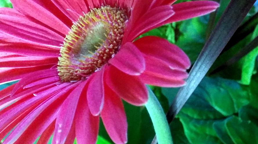 Daisy, Pink 1c
