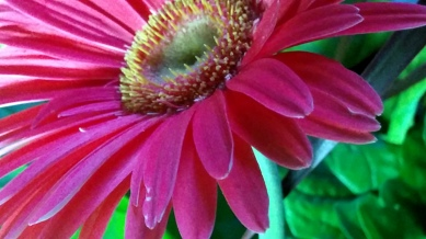 Daisy, Pink 1b