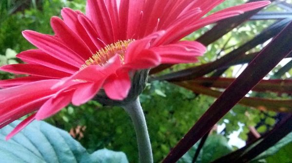 Daisy, Pink 3a