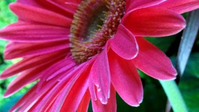 Daisy, Pink 1a