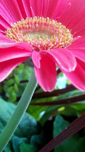 Daisy, Pink 2a