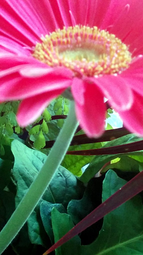 Daisy, Pink 2b