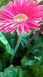 Daisy, Pink 6