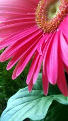 Daisy, Pink 7