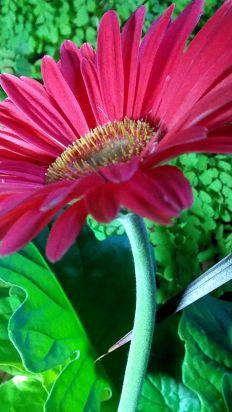 Daisy, Pink 5a