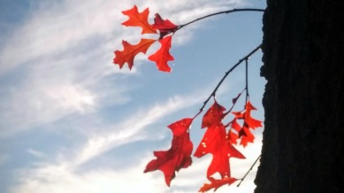 Autumn Red 1b