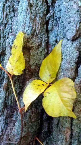 Yellow on Tree Trunk 2b