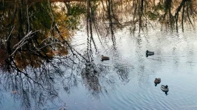 Ducky Reflections 3
