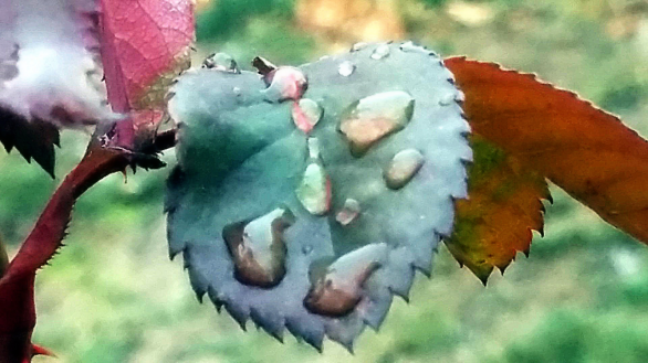 Melted Snow on Rose Leaves 2