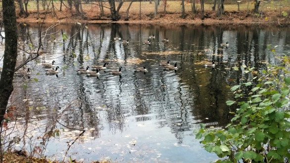 Canada Geese in Mystic River 1