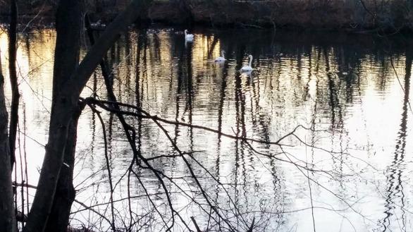 Swan River 5