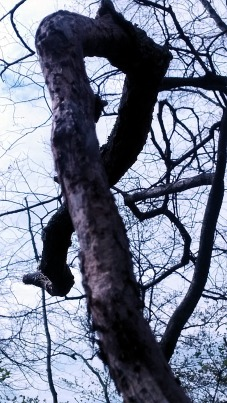Twisted Tree 1a