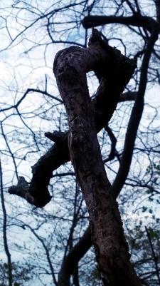 Twisted Tree 1b
