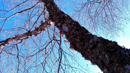 Flaky Trees (Spring) 1