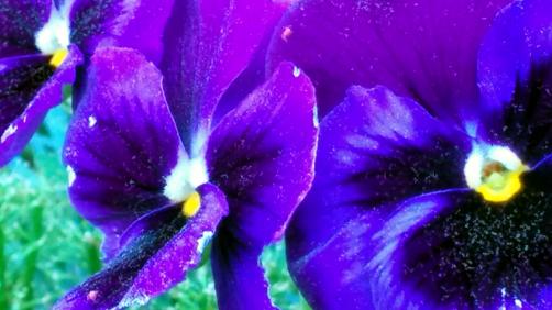 Purple Passion 4b