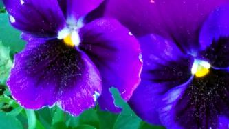 Purple Passion 3a