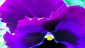 Purple Passion 1