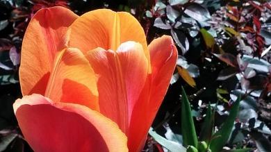 Tulip, Orange 1