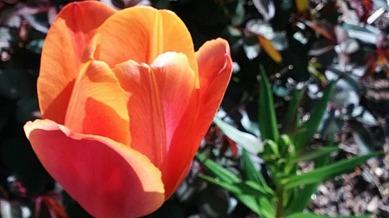 Tulip, Orange 2