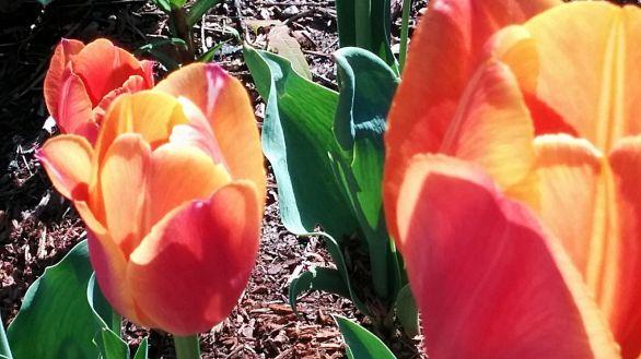 Tulip, Orange 4