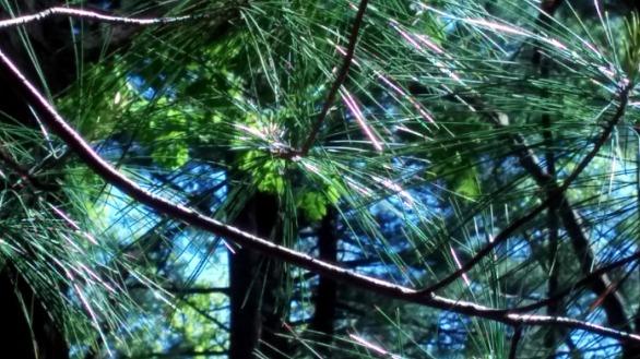 Pine Sparklers 1