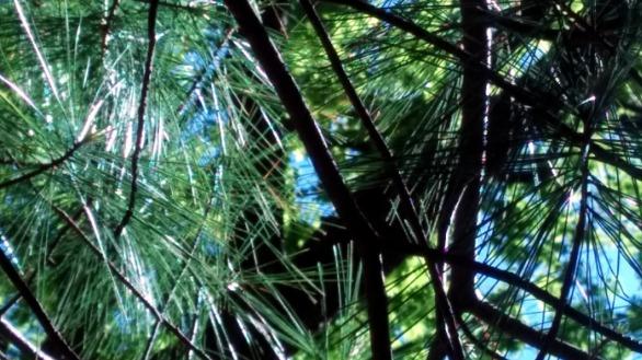 Pine Sparklers 2