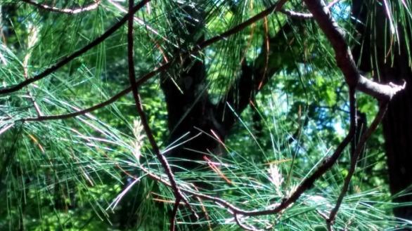 Pine Sparklers 3