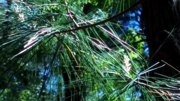 Pine Sparklers 4