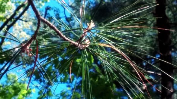 Pine Sparklers 5