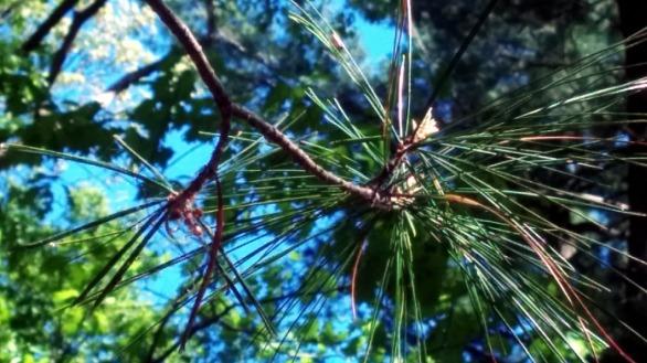 Pine Sparklers 6