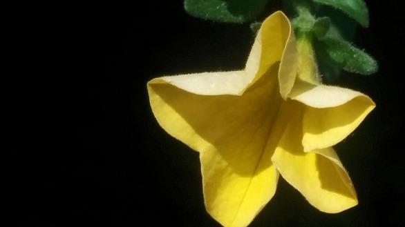 Yellow Flower, Stardom 2