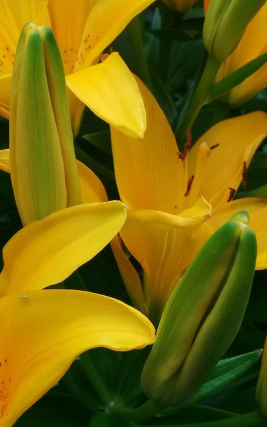 Lilies, Yellow 7a