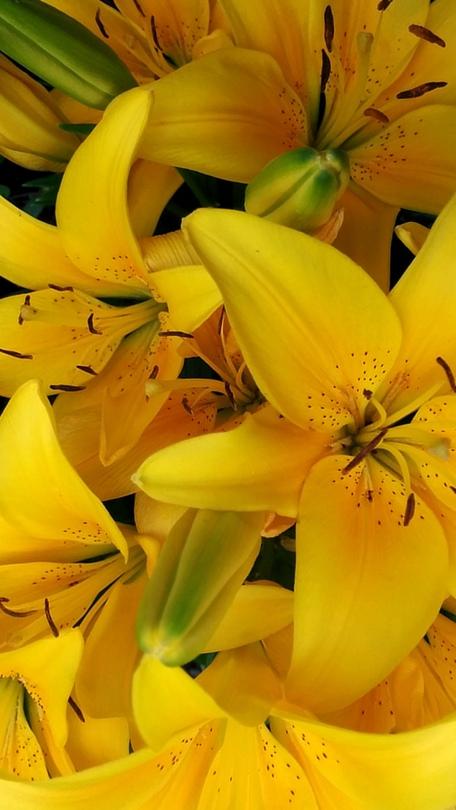 Lilies, Yellow 6