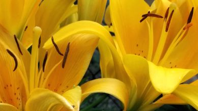 Lilies, Yellow 3