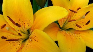 Lilies, Yellow 2