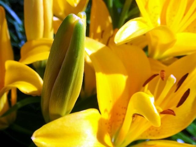 Lilies, Yellow 7b