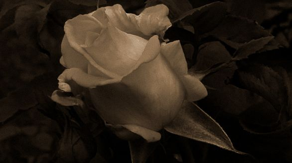 Pink of Youth 4 (Sepia)