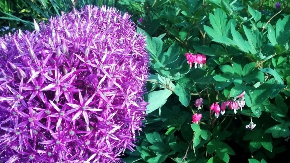 Allium 5 (with Bleeding Hearts)