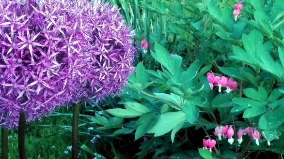 Allium 6 (with Bleeding Hearts)