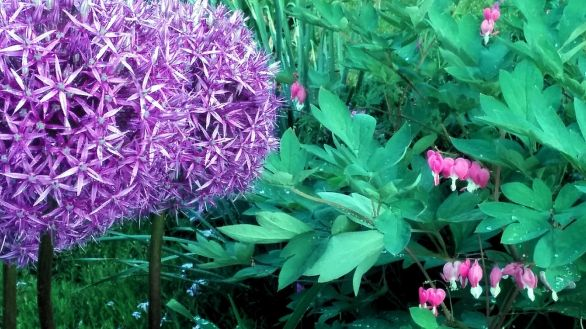 Allium 6 (with Bleeding Hearts)