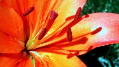 Lily, Orange 1