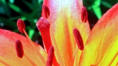 Lily, Orange 3