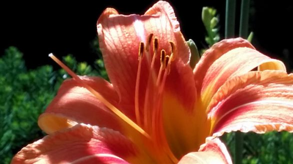 Daylily, Orange 8