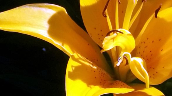Lily, Yellow 3